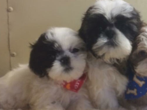 SHIH-TZU PUPPIES CKC registered adorable pre-spoiled beautiful babies parents on premise will ha