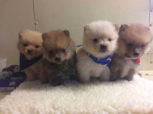 POMERANIAN PUPPIES CKC Registered Beautiful Males  Females several colors pre-spoiled babies