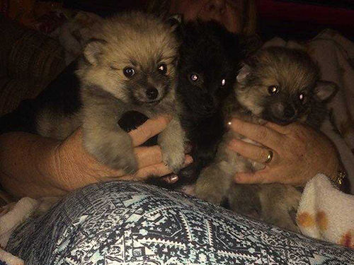 POMERANIAN puppies 8wks old males shots  wormed black  tan solid blacks very cute and loving