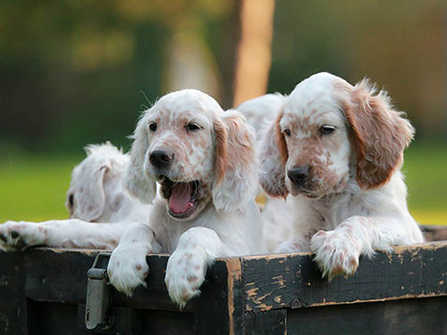 ENGLISH SETTER puppies tri-colored  solid white males  females FDSB reg UTD shots  worming g