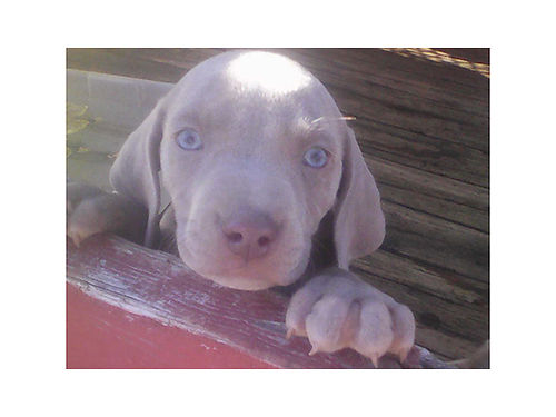 WEIMARANER PUPPIES CKC Registered Beautiful Silver pups 8wks old adorable with quality bloodline