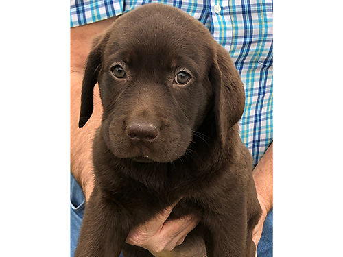 CHOCOLATE LAB PUPPIES CKC Reg 5wks old Now taking Deposits males  females will be vet checked