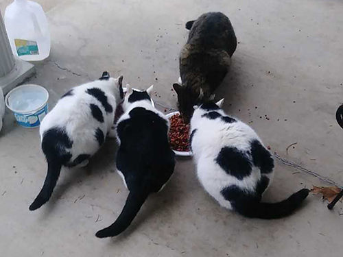 FREE TO GOOD HOME sweet kitties 2 males 1 female all have been spayed and neutered to foreve