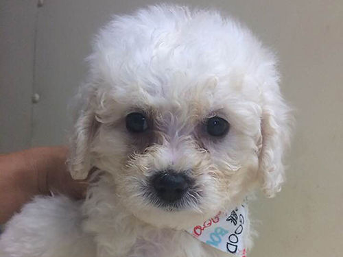 POOCHON PUP, CKC REGISTERED, BEAUTIFUL, 9WKS OLD ...