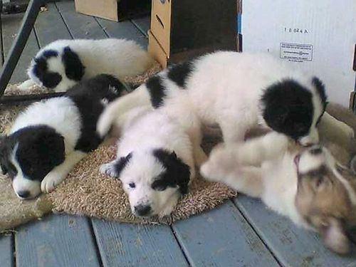 BORDER COLLIE  GREAT PYRENEES PUPPIES 6wks old Parents on Premise Fluffy Adorable SMART Males