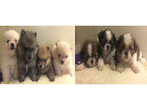 POMERANIAN  SHIH-TZU PUPPIES CKC Reg Fluffy Pre-spoiled Babies Parents on premise will have 1s