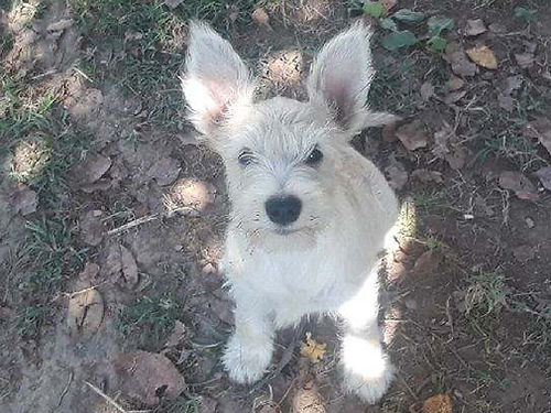 MINIATURE SCHNAUZER puppies 6wks old shots  wormed males  females various colors parents on p