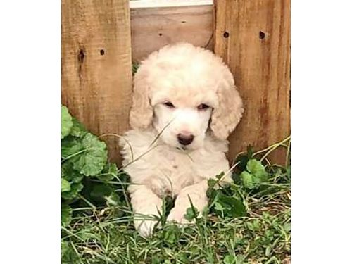 Memphis Dogs for Sale and Adoption | Memphis Classifieds
