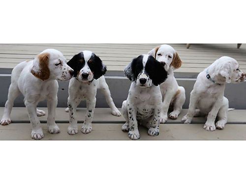 ENGLISH POINTER puppies FDSB reg males  females UTD shots  worming written health guarantee p