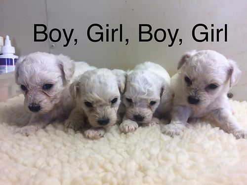 POOCHON PUPS CKC Registered Beautiful pre-spoiled babies parents on premise will have 1st shots