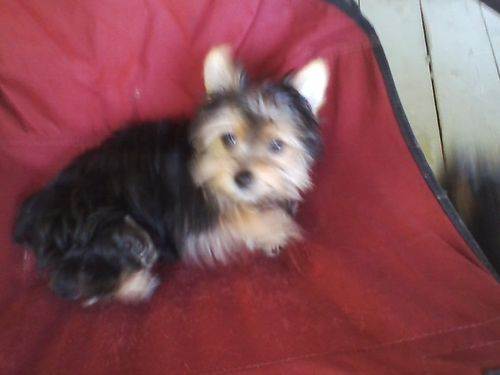 YORKIES 2 tiny CKC Reg Black  Tan Male  Black  Silver Female not related UTD shots wormed A
