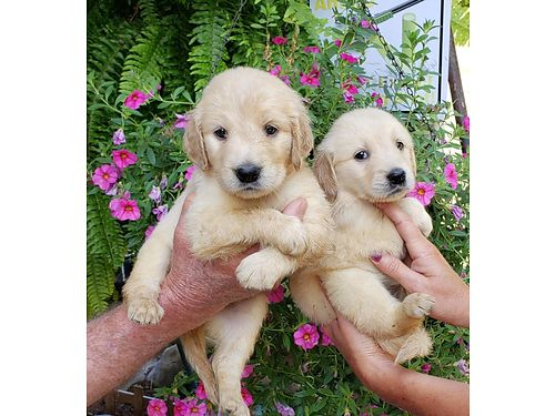 GOLDEN RETRIEVER beautiful AKC REG puppies gold and cream UTD shots worming very good personalit