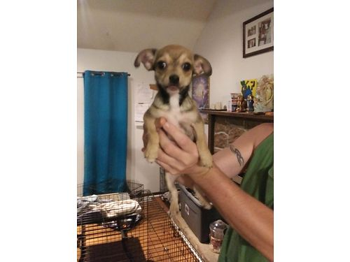 CHIHUAHUA MIX puppies beautiful born June 15 ready for a new home 2 boys 100 each 1 girl 150