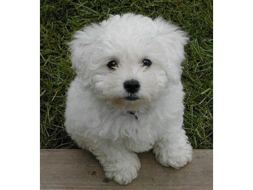 POOCHON PUPS CKC Registered Beautiful pre-spoiled babies all shots  wormed 1yr health guarantee
