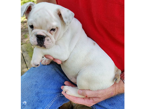 ENGLISH BULLDOG PUPS REGISTERED VET CHECKED HEALTH GUARANTEED 11 Wks Old 1200-UP Pics  more info