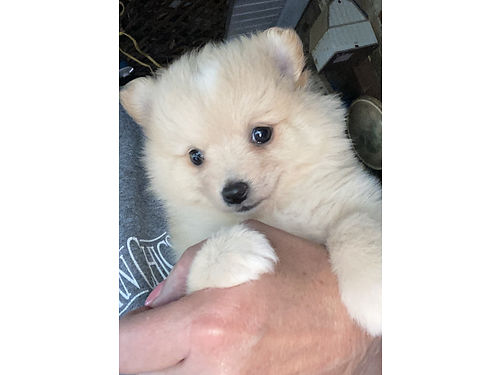 POMERANIAN PUPPY Sweet Lovable Companion UTD ShotsDewormed Parents on Premises 300 662-416-1970