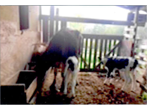 ONE HOLSTEIN NURSE COW with 2 bull calves 4 quarters good 2 yrs old Have more Jersey cows 1000