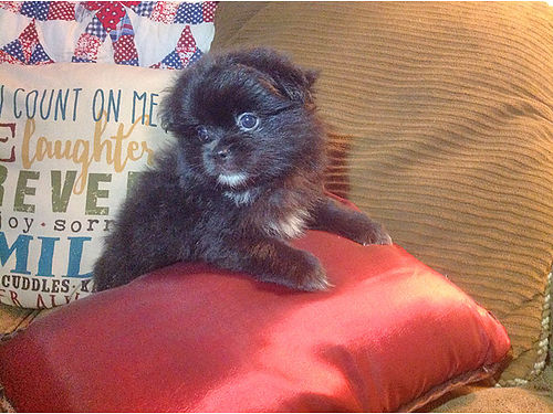 CKC REGISTERED PEK-A-POM PUPPIES shots  wormed parents on premises 2 females  1 male 8 weeks o
