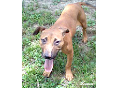 APBT ADBA Female pup 6 months Fawn blkmz energetic and attentive Ideal for a companion pet She