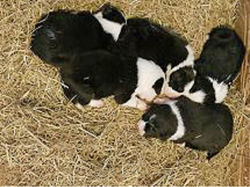 ABC REGISTERED BORDER COLLIE PUPS black  white bloodlines of Juan Reges Red Of Wyoming  Keith