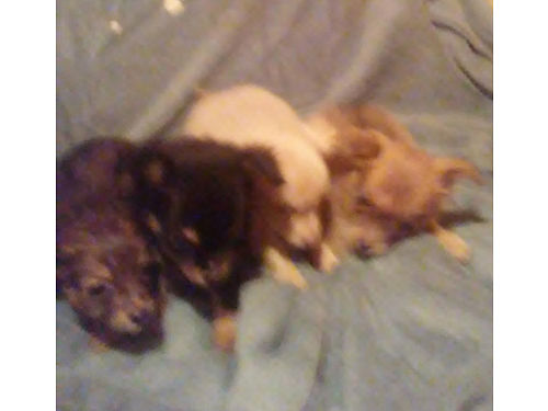 CHIHUAHUA PUPPIES full blooded long  short haired shots  wormed200 for males 250 for female