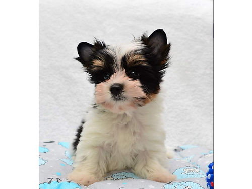 PUPPIES- Christmas Gifts Tcup Part Yorkies Males ready for new homes come W