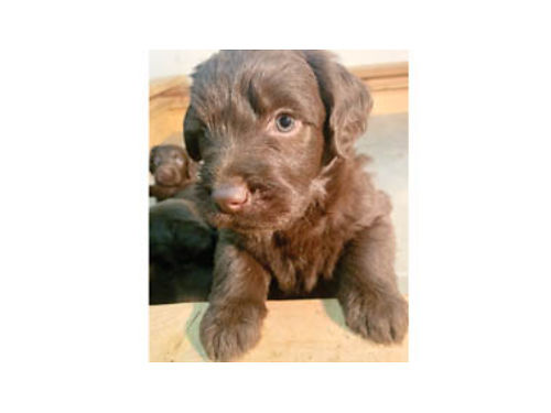 F1 LABRADOODLES Chocolate and white striped Very smart and adorable Going fast Taking deposits n
