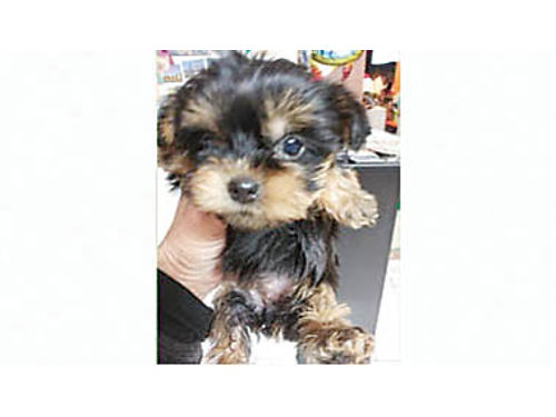 MINIATURE Pure breed Yorkshire Terriers Born 1182020 3-F 3-M Charted to weigh at full grown 3-