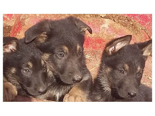 GERMAN SHEPHERD Original 2-M 2-F 2 months old puppies are ready for their forever homes shots d