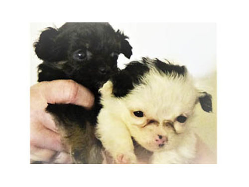 VALENTINES DAY PUPPIES Maltese- Yorkie- Shih Tzu- Poodle mix Ready Valentines Day week 1-Male- a