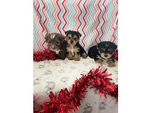 YORKIE TERRIERS for Valentines Day Females 1300 Males 900 Puppies have Shots records  CKC Pap