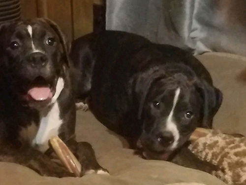 BOXERS akc registered both parents on site full pedigree sw tails docked microchipped reverse