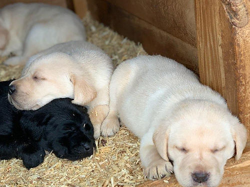 LAB PUPPIES AKC registered black and yellow born 129 available at 6 weeks 600 for photos search
