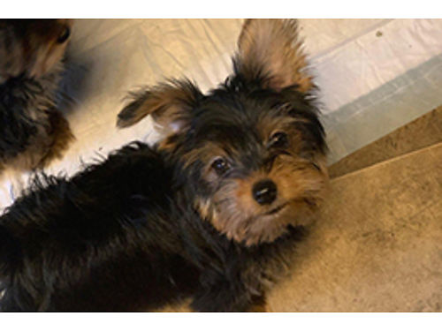 YORKIE PUP 1 male left ready now 13 weeks old tail docked sw full blooded inside house born a