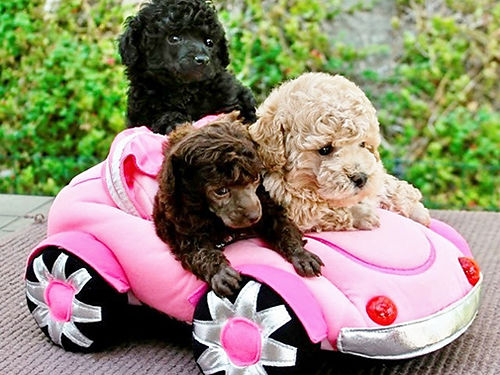 PUPPY NURSERY  GROOMING Registered Poodles Dachshunds Maltese Maltipoo Shih-tzus Pomeranians