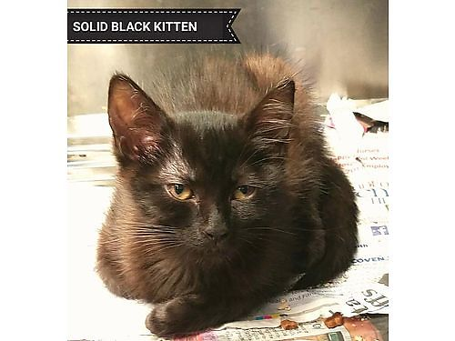 SOLID BLACK KITTEN is about 4mo old Hes very playful and would love another kitten to play with A