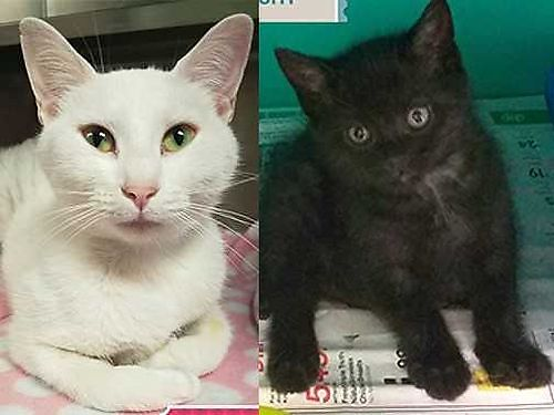 HALO WAS A VERY YOUNG MOTHER when she had Midnight her male kitten They are very bonded and must b
