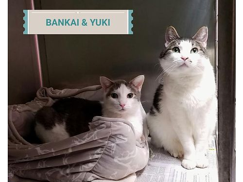 BANKAI  YUKI ARE A PAIR of special needs middle aged cats They must remain on a special diet readi