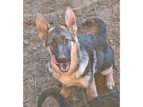 GERMAN SHEPHERD PUPS AKC 16wks old Born 112619 Male  4 Females left UTD