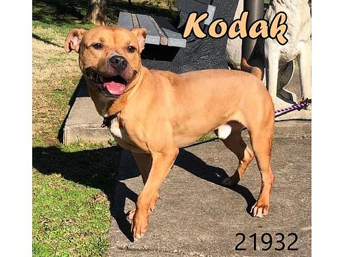KODAK is a 2 year old pit mix that doesnt like the kennel Once out he is a sweet loving pup that