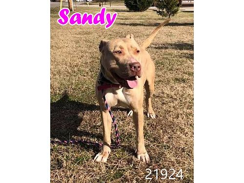 SANDY is a pit mix girl about 3 years old who lives to play fetch Adoption fee 55 includes spay