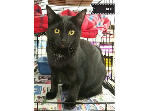 JAX is a little shy at first but would love a home with a window and a cat tree to hang out in Adop