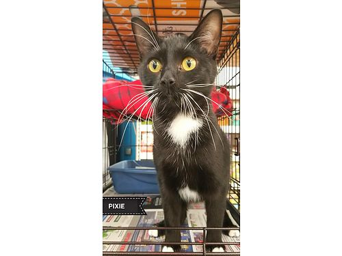 PIXIE is super affectionate and loves to play She is a young adultolder kitten that desires attent