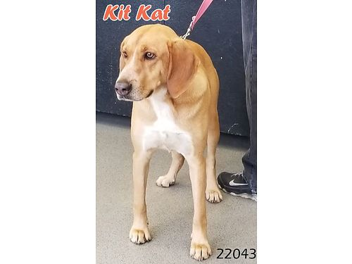 KIT KAT is a smaller 2 year old male hound mix with a sweet personality Sadly his owner moved wit