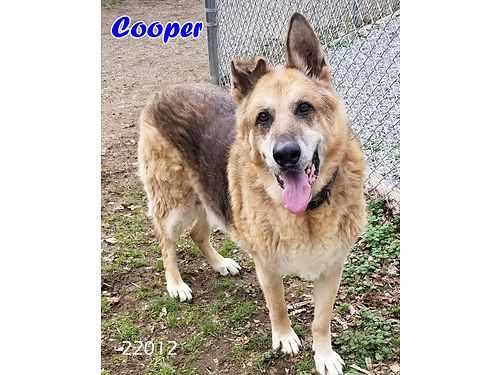 COOPER is a wonderful large German Shepherd looking for a retirement home Adoption fee 110 includ