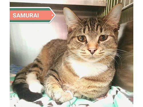 SAMURAI is a 10 month old boy with stunning eyes and a great personality Adoption fee 110 includes