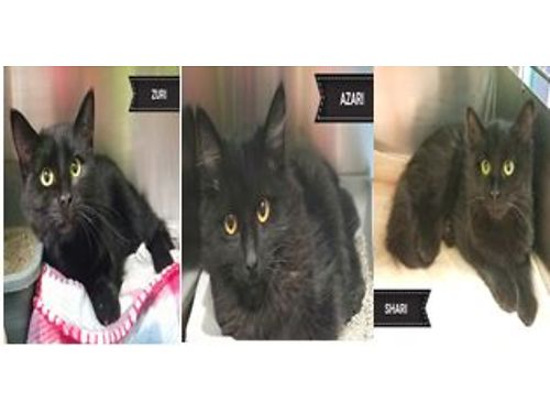 ZURI  AZARI are 6 month old siblings that would love a home either together or separate Adoption