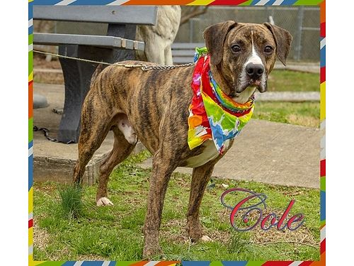 COLES A MALE BOXERHOUND MIX eager to find a new family to love Adoption fee 110 includes neuter