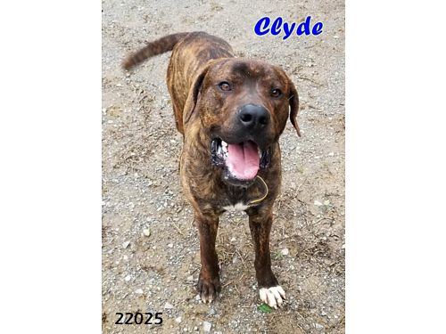 CLYDE IS A 15 YEAR OLD MASTIFF MIX who needs new digs Adoption fee 110 includes neuter vaccines
