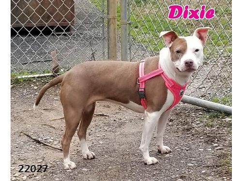DIXIE IS A NICE MEDIUM SIZE 35-40 pounds girl who has the best smile Adoption fee 110 includes s